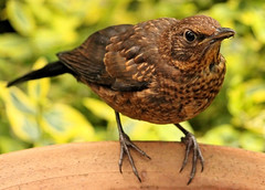 Juvenille Blackbird & Good News : ) photo by Judy's Wildlife Garden