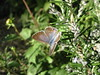 papillon diurne Azuré porte-queue - Lampides boeticus