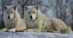 Arctic Wolf 12 photo by cypher40k Photography