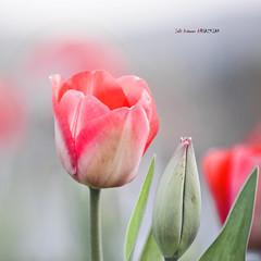 Tulipana photo by Jabi Artaraz