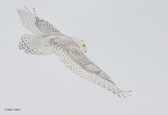 Harfang des neiges / Snowy Owl photo by anjoudiscus