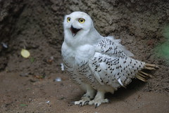 Snowy owl photo by floridapfe