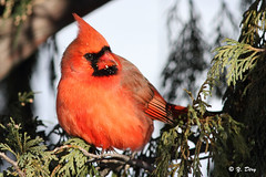 Cardinal rouge / Northern Cardinal photo by Yves Déry