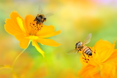 Busy Little Bees on Cosmoses - 忙碌的小蜜蜂在波斯菊上 photo by Fu-yi