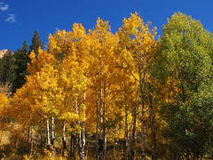 Aspen Grove in Fall photo by Batikart