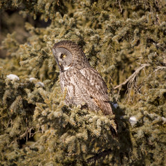 Great Grey Owl photo by GeoKs
