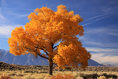 Cottonwood in fall photo by bertdennisonphotography