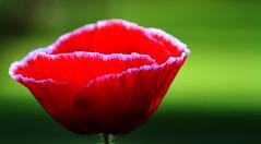 Poppy photo by Lorraine1234
