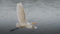 Great Egret photo by cre8foru2009