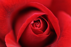 red rose photo by haduki99