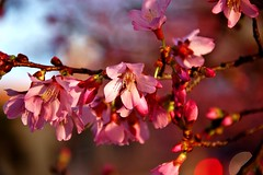 Blossoms of Pink photo by gdsphotography96