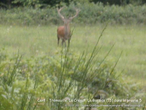 Cerf - La Bastide (Cantal) zoom 4