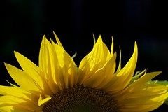 Sunflower photo by Mark-Crossfield