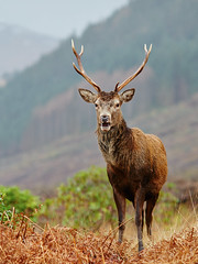 Red Deer Stag at Glen Etive - Explored 23/01/14 photo by mark_mullen
