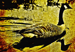 The Fabled Golden Goose photo by LostMyHeadache: Absolutely Free *