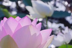 lotus photo by makiko_11