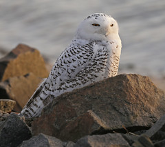 Snowy Owl photo by Mawrter