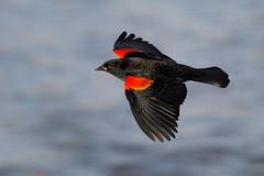 Black Bird photo by bmse
