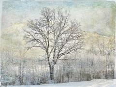 Tree in winter glory. photo by Bessula