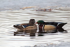 Wood duck pair showing some love photo by jlcummins - Washington State