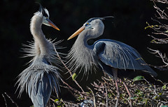 GREAT BLUE HERON COUPLE - COURTSHIP photo by ginger146