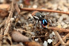 Maratus robinsoni photo by FISHNROBO