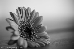 Flower on the floor (mono mix) photo by CRC Photography - 100,000 views!!