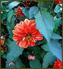 Dahlias & Leaves photo by Pifou 2010 - Off until Sunday !!!