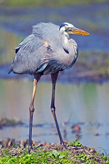 Great Blue Heron photo by Brian E Kushner