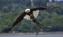 Bald Eagle with gull photo by Catsbow