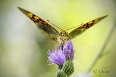 "Mariposa Pandora IV ""Argynnis pandora"" photo by *Alphotos"