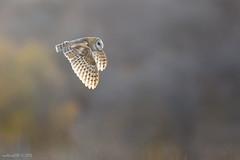 Barn Owl photo by mallardg500