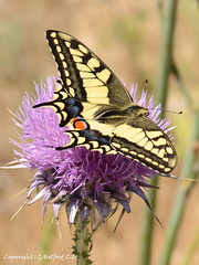 Cypriot Butterfly II photo by Holfo