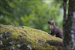 Pine marten, Scotland photo by Ben Locke.