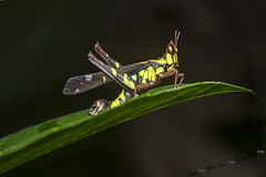 Grasshopper photo by Pak Lang E