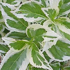 H. macrophylla 'Tricolor'