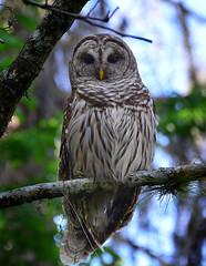 Barred Owl at Lettuce Lake photo by trishhartmann