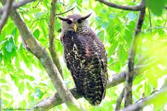 Spot-bellied Eagle Owl / Bubo nipalensis / นกเค้าใหญ่พันธุ์เนปาล photo by bambusabird