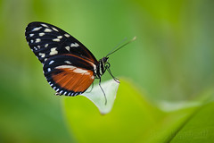 Tiger Longwing photo by Bart Hardorff