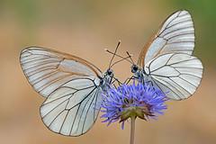 Aporia crataegi - Pieride del biancospino. En.: Black-veined White photo by renzodionigi