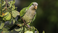 "Wild Parrot ""One Foot"",. photo by jackleisen"