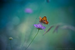 Blue Moon Butterfly part II [explored] photo by icemanphotos