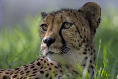 San Diego Zoo Global Joins Cheetah Breeding Coalition photo by San Diego Zoo Global