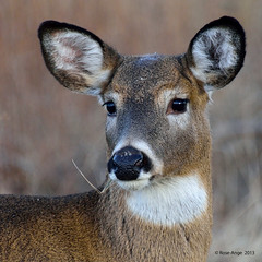 Cerf de Virginie ♀ / White-tailed Deer photo by anjoudiscus