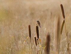 Stonechat Haven (Explored) photo by 1963chris