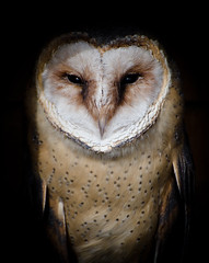 Barn owl / Tyto alba photo by stoplamek