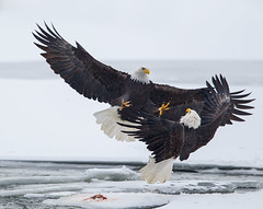 Bald Eagle Piracy photo by amkhosla