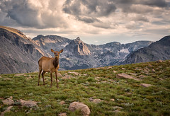 Elk, Interrupted  -  Rocky Mountain National Park, Colorado photo by Michael Riffle