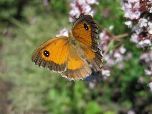 papillon Amaryllis femelle