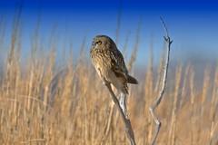 Short-eared Owl photo by Brian E Kushner